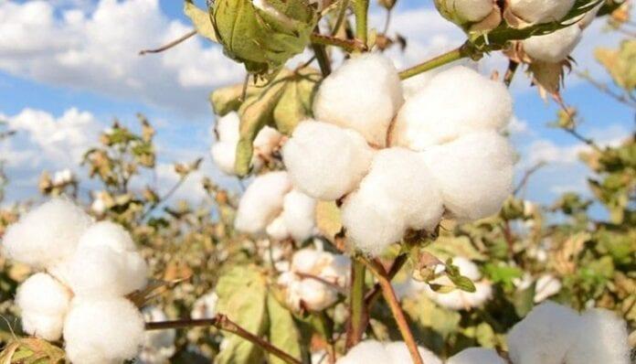 cosecha del interior del país del algodón