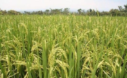 cultivo-de-arroz-colombia