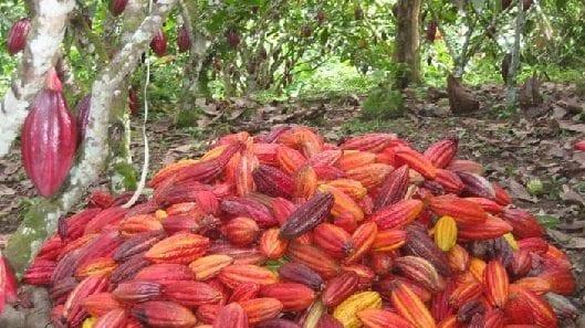 enfermedades del cultivo de cacao