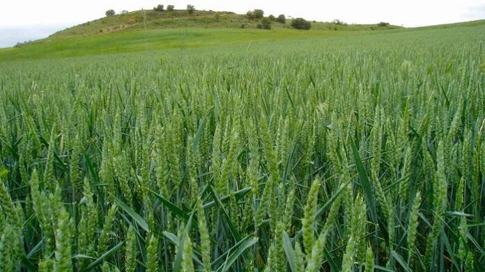 cultivos de gramíneas