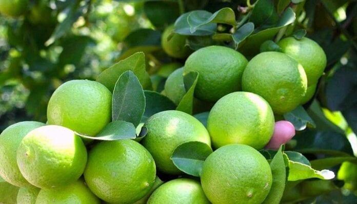 cultivos de limón