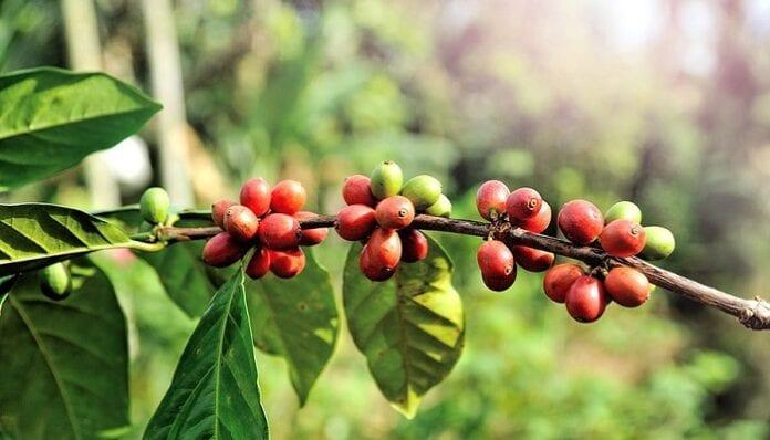 insectos plaga del café