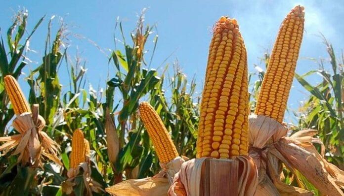 maíz amarillo tecnificado en Colombia