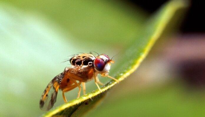 mosca mediterránea