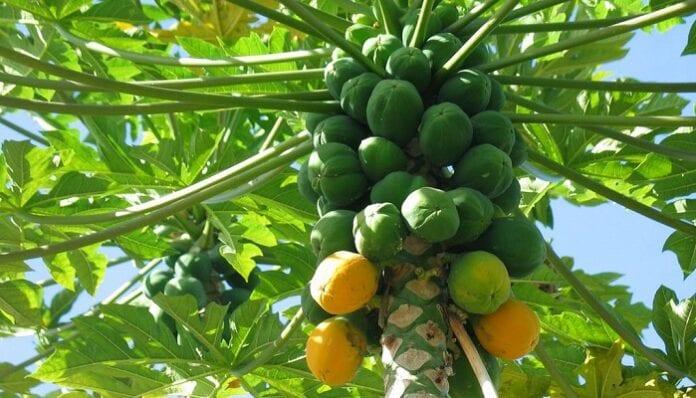 papayas colombianas