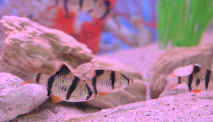 peces ornamentales