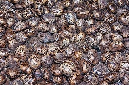 semilla de caucho natural