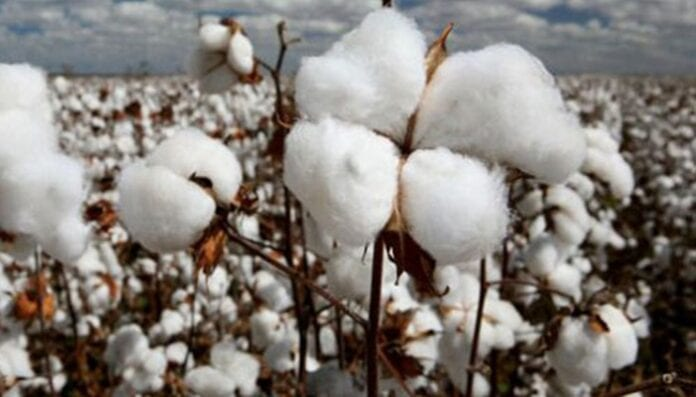 tecnificar e innovar el cultivo de algodón