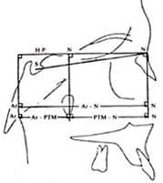 Perfilograma - COGS. Base craneal
