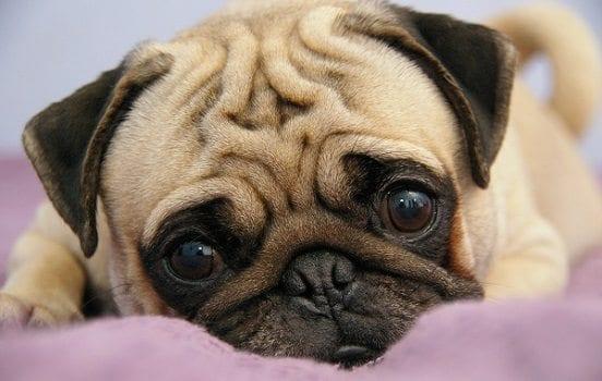Pug Razas De Perros Características Y Cuidado Mascotas