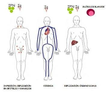 Esquema de una infeccion viral