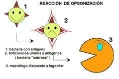 Reacción por opsonización