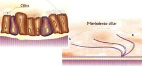 Bronquios - Movimiento Ciliar