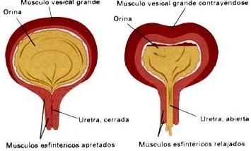 Musculo Vesical - Control de la Vejiga