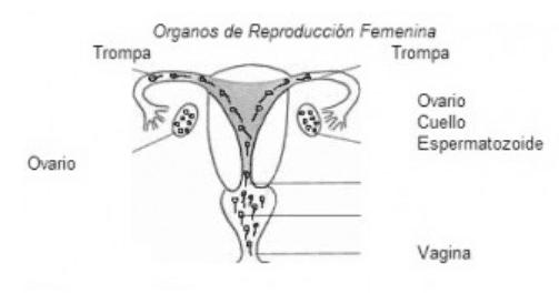 organos de reproduccion femenina