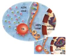 El ARN viral es liberado