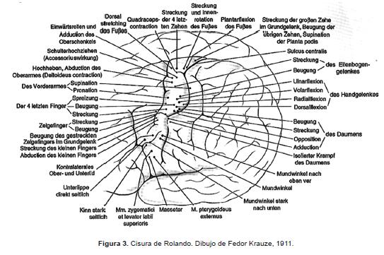 Cisura de Rolando de Fedor Krauze-1911.