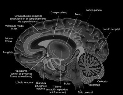 Corte transversal del encéfalo