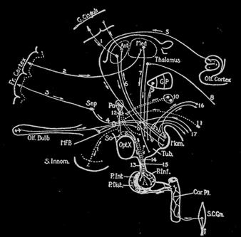 Diagrama de las Conexiones Hipotalamicas