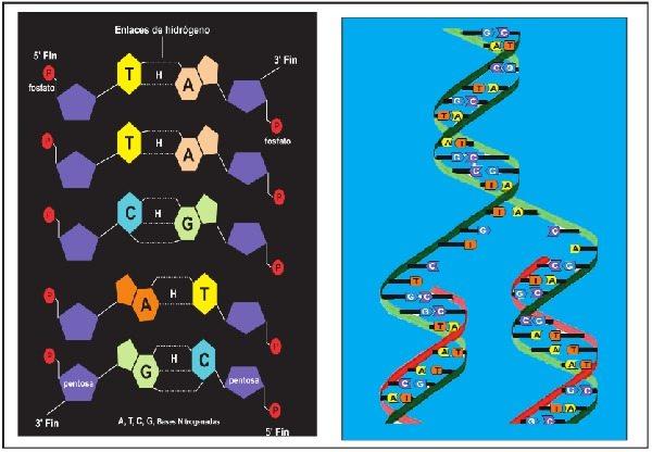 Modelo de Watson y Crick de la estructura del ADN