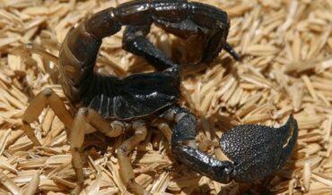 Picadura escorpion manejo prehospitalario