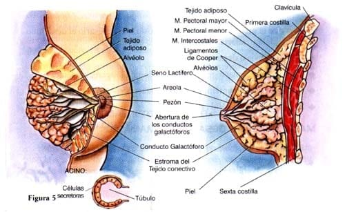Las mamas son glándulas túbulo-alveolares de secreción externa