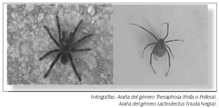 Arañas del género (polla o pollera, viuda negra)