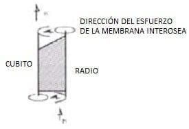 Direccion del esfuerzo de la membrana interosea - Antebrazo