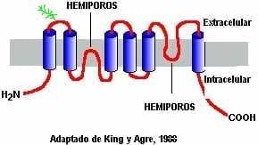 Acuaporinas en glándula tiroidea