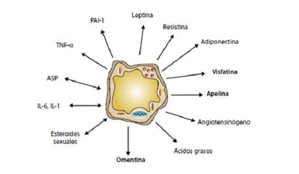 Adipoquinas, Función endocrina de los Adipositos