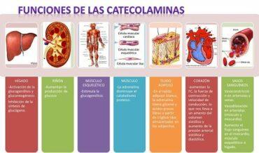 Funciones de las catecolaminas