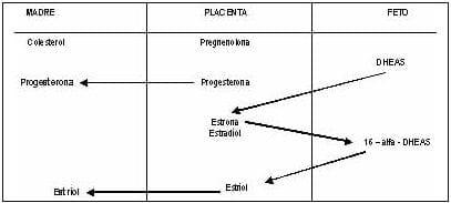 Síntesis de esteroides sexuales en la placenta