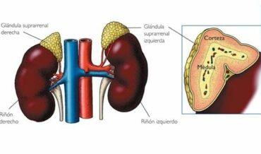 Andrógenos y Patología Suprarrenal