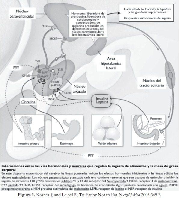 Interacciones entre vías hormonales y neurales - Ingesta de alimentos