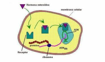 Secreción Hormonal