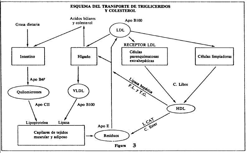 Esquema transporte trigliceridos