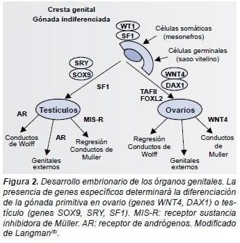 Desarrollo embrionario de los organos genitales