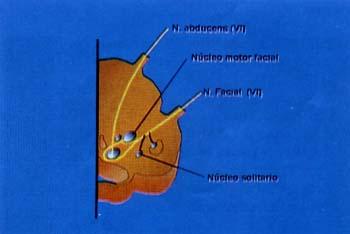 Anatomía esquemática del tronco cerebral