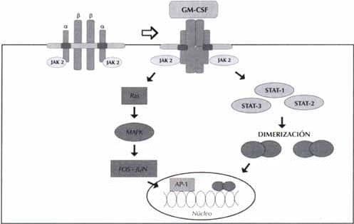 Receptor para el GM-CSF y vías de transducción de señales