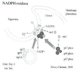 Sistema NADPH oxidasa de los Fagocitos