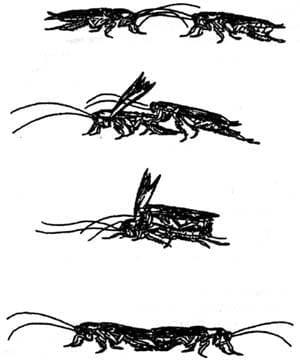 Cortejo de cucarachas