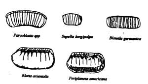 Octecas de las especies más comunes de cucarachas
