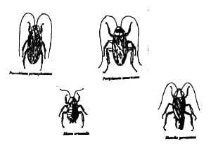 Especies de cucarachas intradomiciliarias más comunes