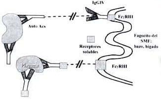 Bloqueo de los receptores FcgRIII en células del sistema fagocito-monocitario (SFM)