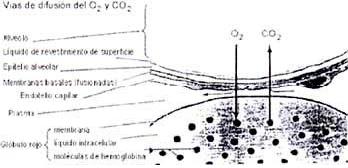 Barrera hemato-gaseosa o alveolocapilar