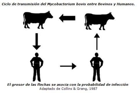 Ciclos de Tuberculosis Bovina