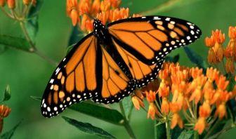 La Mariposa de las Alas Anaranjadas