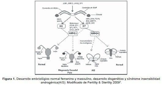 Desarrollo embriologico femenino y masculino