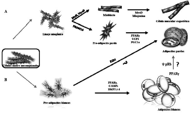 tejido adiposo pardo caracteristicas