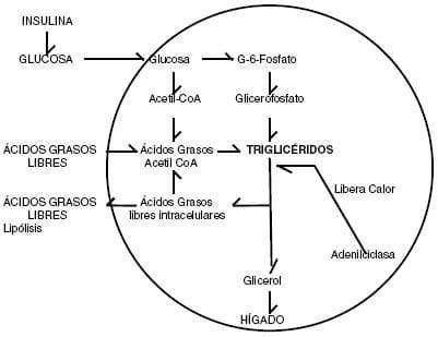 Metabolismo del adipocito